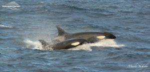 Killer Whale Watching in Bremer Canyon - March 12, 2020 - 23