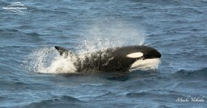 Killer Whale Watching in Bremer Canyon - March 12, 2020 - 22