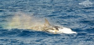 Killer Whale Watching in Bremer Canyon - March 12, 2020 - 28