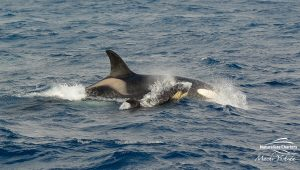 Killer Whale Watching in Bremer Canyon - March 12, 2020 - 27