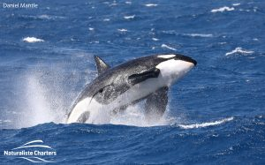 , The 2020 Bremer Bay killer whale Wrap-up!