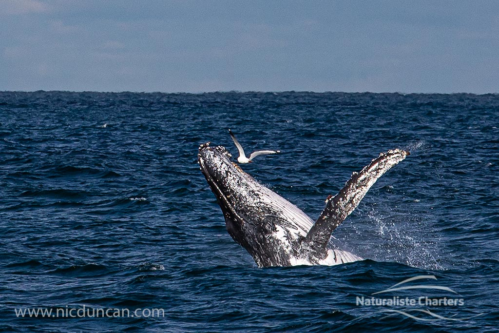 Happy Humpbacks in Flinders Bay!