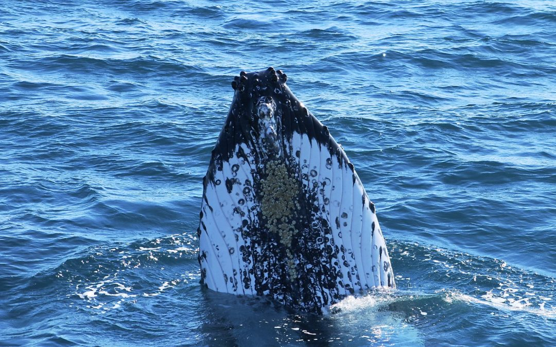 Fun Facts About Humpback Whales!