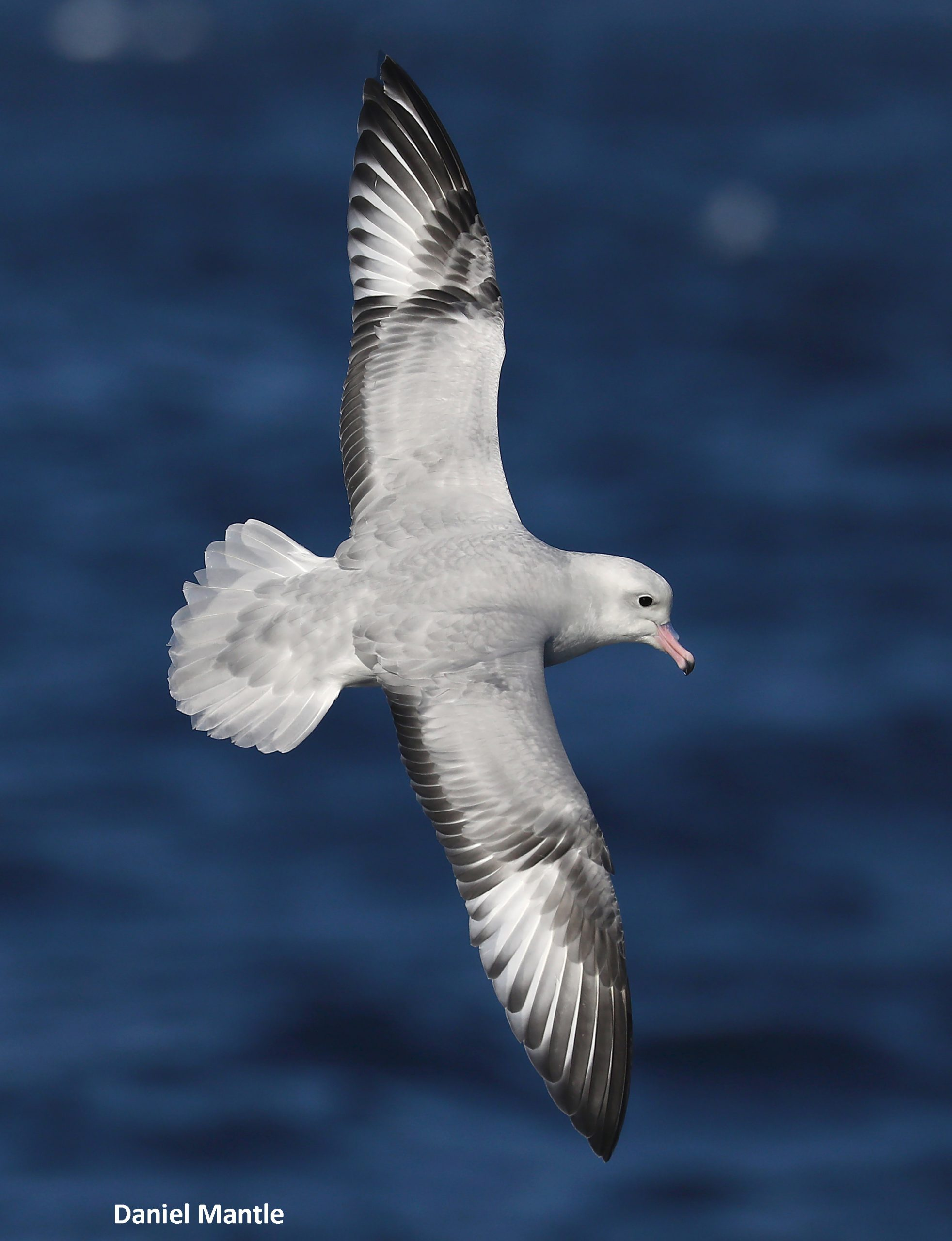 Southern Fulmar 1a Scaled