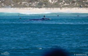 Southern Right Whale Bunker Bay 300x194