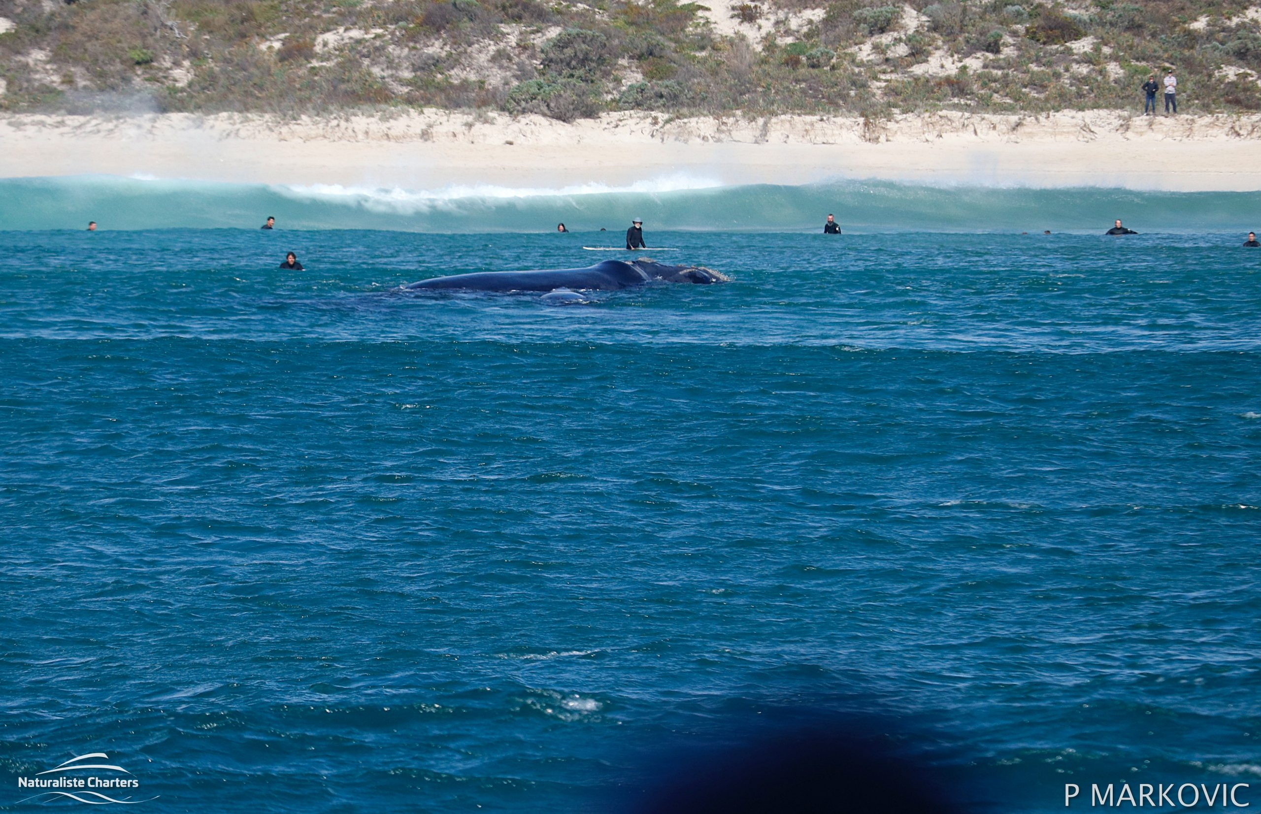 Southern Right Whale Bunker Bay Scaled
