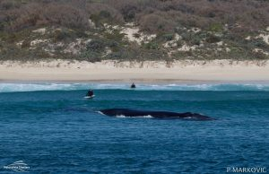 southern right whales australia