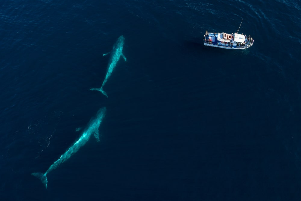 Blue Whale Watching Australia