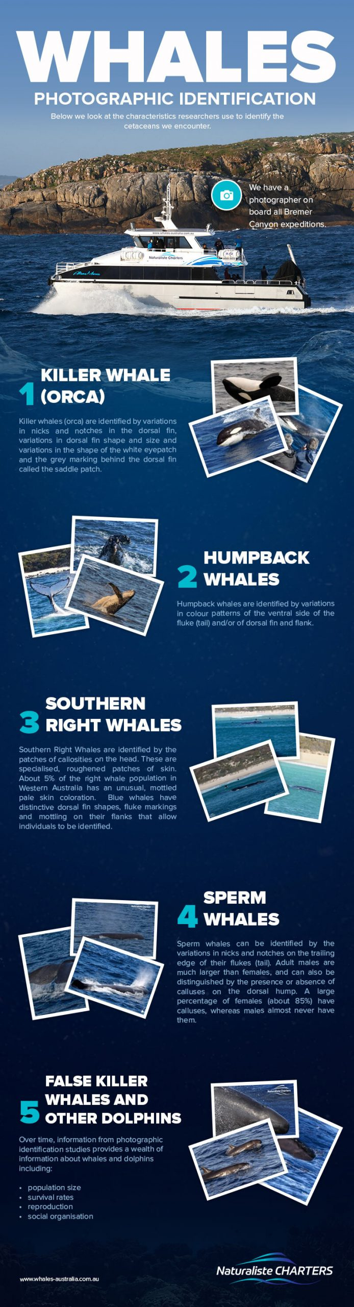 NC Whales Photographic Identification Infographic Scaled